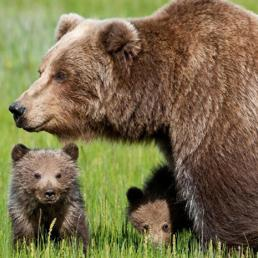 L'orsa Daniza con i cuccioli (Ansa)