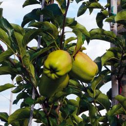 Coltivazione di mele in Val di Non (Olycom)