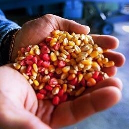 De Girolamo: firmato il decreto che vieta coltivazione di mais Monsanto