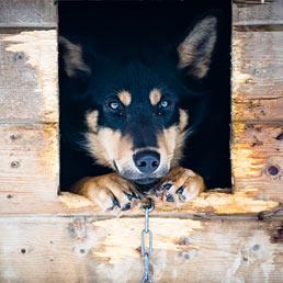 Per la Cassazione se la catena è corta il cane è maltrattato (Corbis)