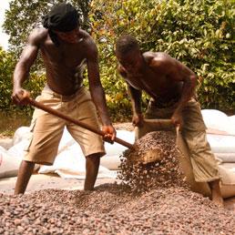 Ghana, lavoratori in una piantagione di cacao (Reuters)