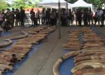 Maxisequestro di avorio in Thailandia