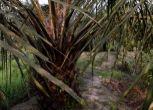 Olio di palma, la sostenibilità passa dalla certificazione